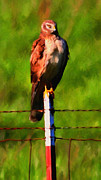 Hunt Acrylic Prints - Marsh Hawk . Bird of Prey . Painterly Acrylic Print by Wingsdomain Art and Photography