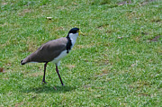 Lapwing Photos - Masked Lapwing by Harry Strharsky