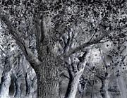 Tree Framed Prints Drawings Prints - Massachusetts-American Elm Print by Jim Hubbard