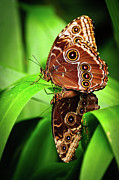 Butterfly Prints Artwork Photo Acrylic Prints - Mating Butterflies  Acrylic Print by Harry Spitz