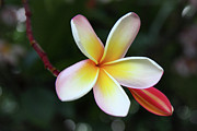 Lei Photos - Maui Plumeria by Pierre Leclerc