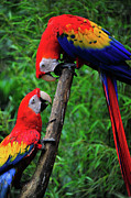 Tropical Photographs Photos - Meeting of the Macaws  by Harry Spitz