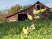 Seedpods Prints - Milkweed Seedpod and Barn Print by Deborah Smolinske