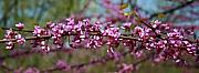 David Dunham - Missouri Redbuds 2