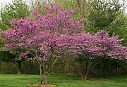 David Dunham - Missouri Redbuds 5