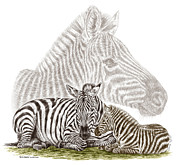 Zebra Drawings - Mom and Baby Zebra Art by Kelli Swan