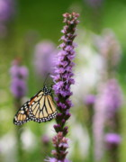 B Rossitto - Monarch On Purple Liatris