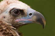 Tom Biegalski - Monk Vulture