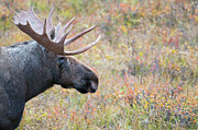 Moose Photos - Moose on the move by Ginevre Smith