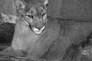 Donna Van Vlack - Mountain Lion - Sonoran Desert Museum