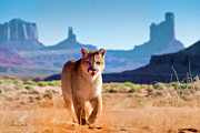 Dennis Fast Framed Prints - Mountain Lion in Monument Valley Framed Print by Dennis Fast