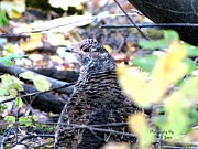 Suzanne  McClain  - Nesting Grouse