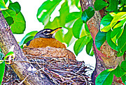 Barry Jones - Nesting Robin