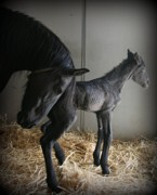Broodmare Art - Newly Born by Michelle  Lafromboise