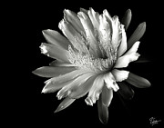 Cereus Acrylic Prints - Night Blooming Cereus in Black and White Acrylic Print by Endre Balogh