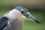Michael Peychich - Night Heron