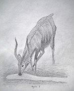 Safari Sketch Posters - Nyala Poster by Julia Raddatz