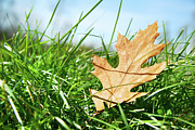 Sandra Cunningham - Oak leaf in the grass