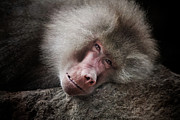 Animus Photography - Old World Baboon