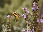 Butterfly Acrylic Prints - Old World Swallowtail Acrylic Print by Meir Ezrachi
