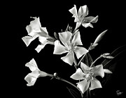 Flower Photos Posters - Oleander in Black and White Poster by Endre Balogh