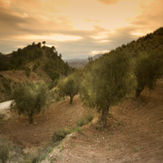 Angel  Tarantella - Olive trees in Spain