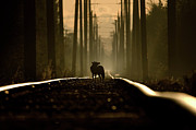 Award Winner Framed Prints - On the tracks of a coyote Framed Print by Martin Cooper
