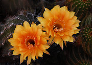 Saija  Lehtonen - Orange Cactus Flowers