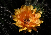 Saija  Lehtonen - Orange Echinopsis Flower