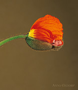 Down Photo Posters - Orange Poppy Poster by Anne Geddes