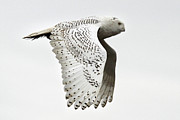 Owls Framed Prints - Owl in flight Framed Print by Pierre Leclerc