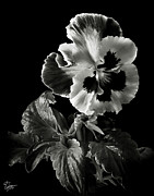 Flower Photos Photos - Pansy in Black and White by Endre Balogh