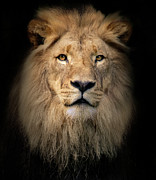 Animus Photography - Panthera Leo
