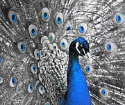 India Metal Prints - Peacock 1 Metal Print by Sumit Mehndiratta