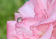 Frogs - Peeking over the petal by Kathy Gibbons