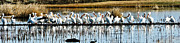 Yellowstone Posters - Pelican Panorama Poster by Greg Norrell