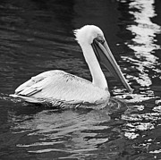 Suzanne Gaff - Pelican Solo in Black and White