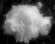 Peony Phases Black And White Contrast Fine Art Print by Smilin Eyes Treasures
