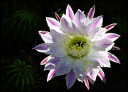 Saija  Lehtonen - Pink and White Cactus Flower