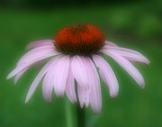 Pink Coneflower Fine Art Print by Smilin Eyes Treasures
