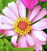 Zinna Photos - Pink Dainty with Yellow Flowerets by Cathy Sosnowski
