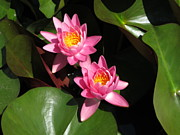 B Rossitto - Pink Duo Waterlily