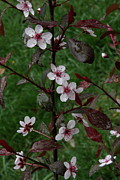 Leaves - Pink Pin Cherry by Lynn-Marie Gildersleeve