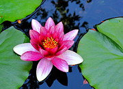 B Rossitto - Pink Waterlily