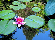 B Rossitto - Pink Waterlily Two