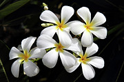 Lei Photos - Plumeria Hawaii by Pierre Leclerc