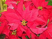 Patricia Taylor - Poinsettias for the Holidays