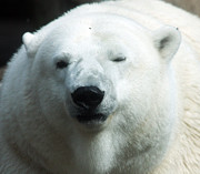 S and S Photo - Polar Bear - 0001