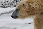 Scott Hovind - Polar Bear 2