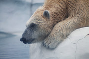 Scott Hovind - Polar Bear 6